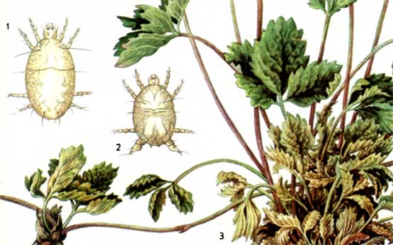 Описание вредителя ягодный культур - Земляничный прозрачный клещ
