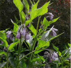 Окопник шершавый. Общий вид растения