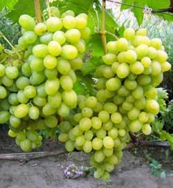 Сорт винограда Подарок Запорожью - fo 47