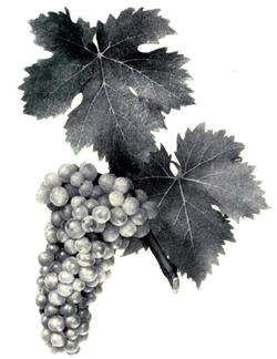 Все о выращивании винограда для начинающих 354